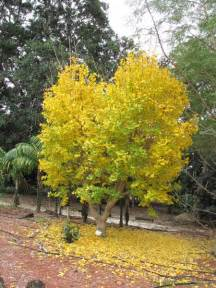 golden ginkgo picture 3