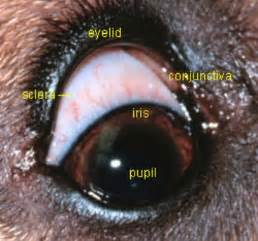 dog thyroid glands picture 14