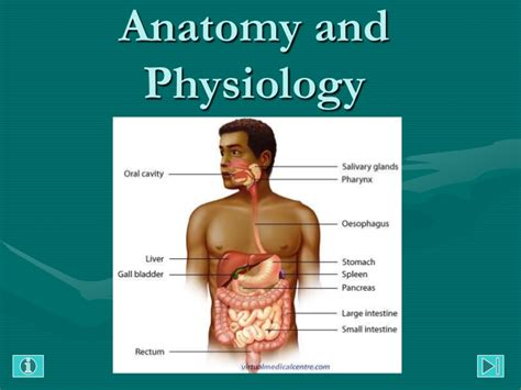 anatomy and physiology of gastrointestinal tract picture 2