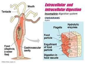hydra digestion and extracellular picture 1