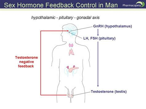 testosterone you and your hormones picture 9