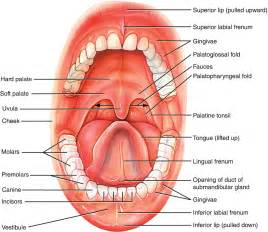 anatomy lips picture 7