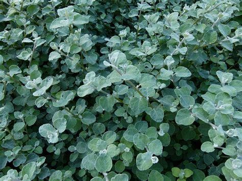 care for licorice plant picture 1
