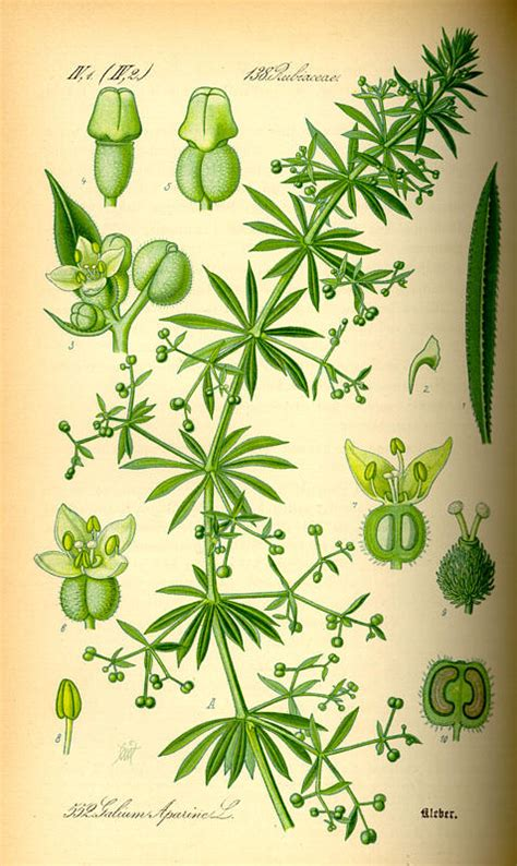 cleavers herb for skin tightening picture 1