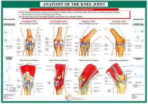 anatomy of knee joint picture 11