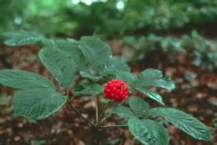 ginsin herbal capsule picture 6