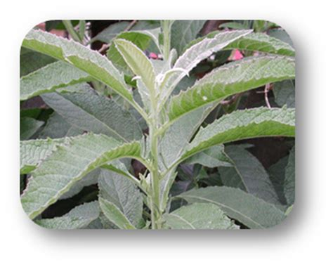 pito pito herbal tea side effect picture 7