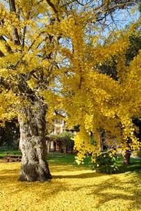 ginkgo tree picture 9