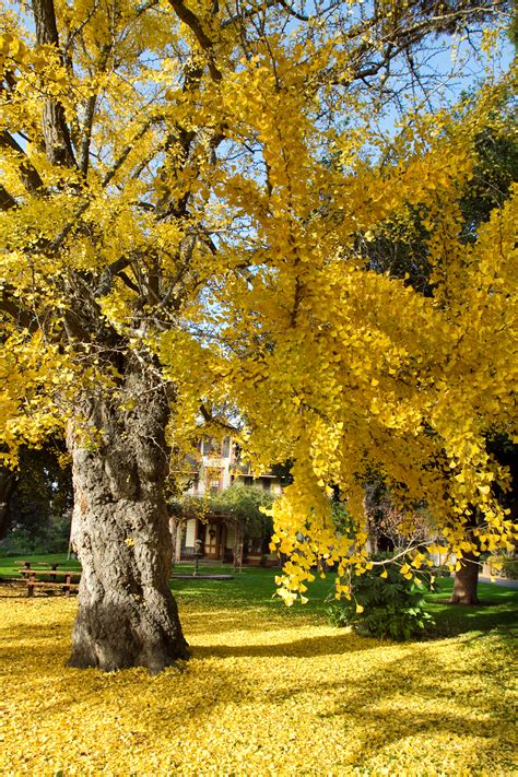 ginkgo atumn gold root system picture 9