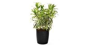 we're can i purchase guacimo plant picture 9