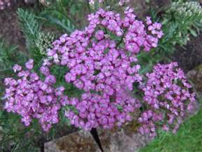 yarrow plants picture 10