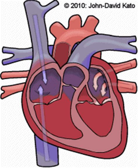 Animation of blood flow though heart picture 2