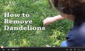 dandelion removal tools picture 15