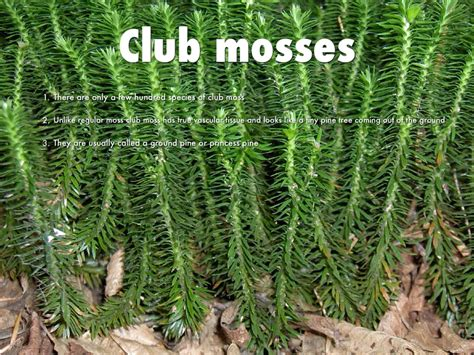 chinese club moss picture 18