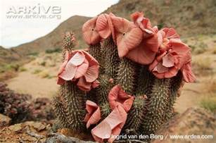hoodia gordonii dangers picture 3