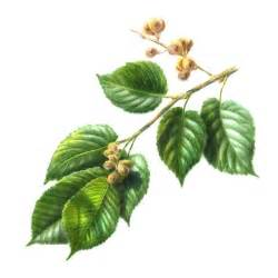 Slippery elm herbal remedy picture 1