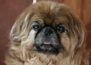 skin problems with pekingese picture 3