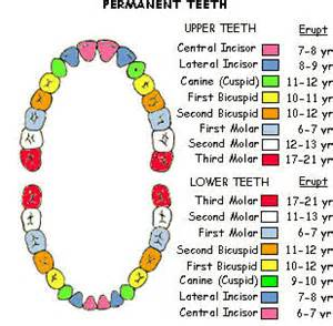 baby teeth how many picture 15