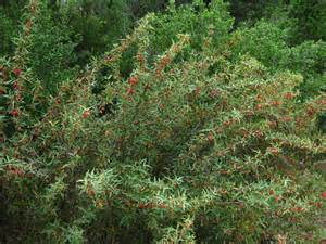 a thorny evergreen tree native to southwest morocco picture 9
