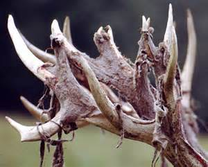 penis increase from deer antler picture 1