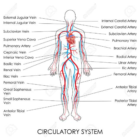 flowcharts of blood circulation picture 6