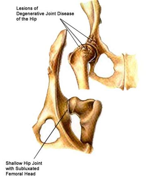 canine hip joint photos picture 11