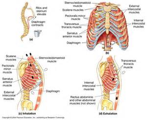 diaphram muscle for breathing picture 7
