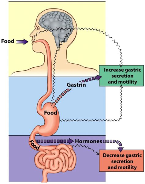 digestion and metabolism picture 4