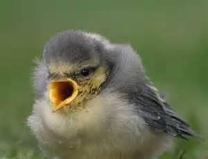 baby bird diet picture 15