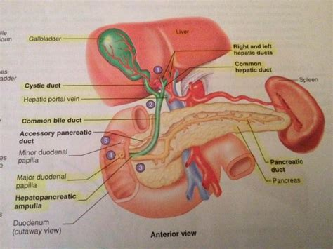 diagrams of chemical digestion picture 7