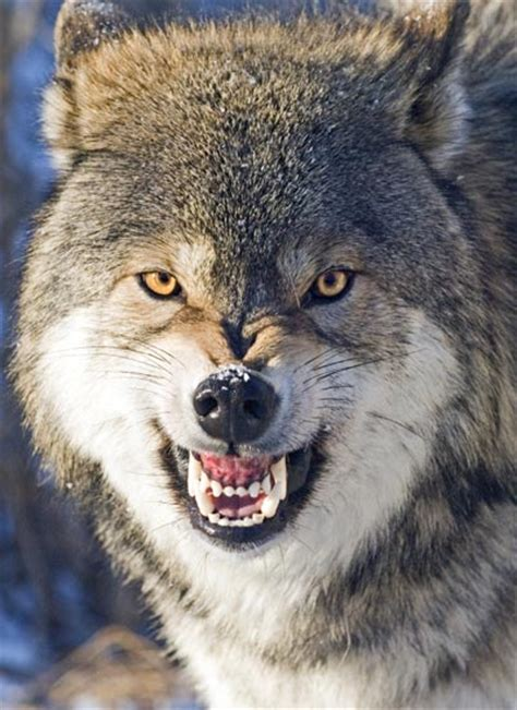 wolf teeth picture 7