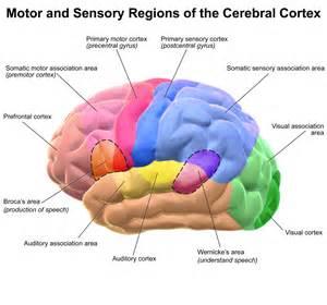 cerebral blood flow motor cortex picture 5