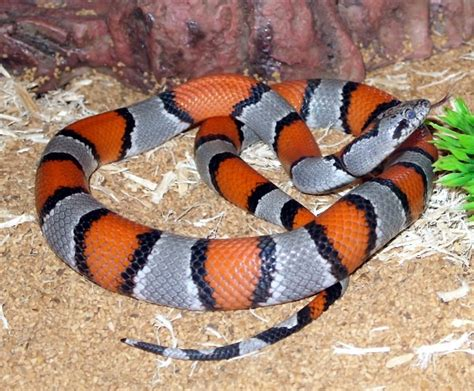 aging your king snake picture 3