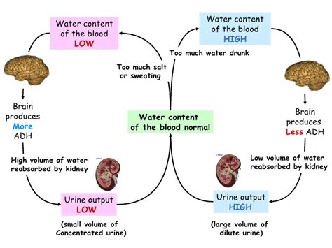 which amino acids increases blood flow picture 7