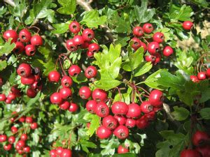does hawthorn berry work picture 3