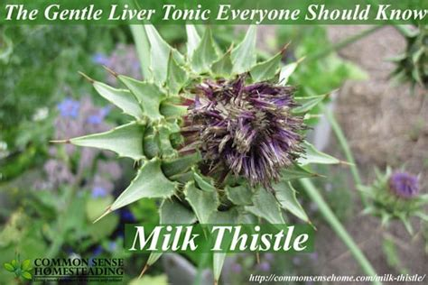 milk thistle for liver damage picture 6