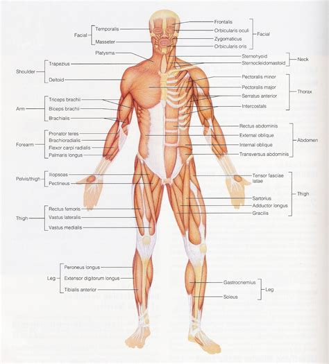 diagram of body muscle picture 11