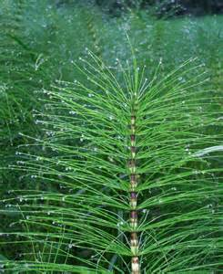 search : which glands does horsetail herb improve picture 1