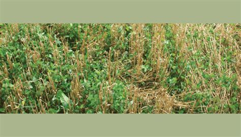 red clover yields picture 11