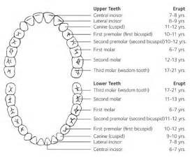 chart of your teeth picture 5