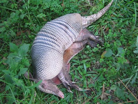 armadillo diet picture 6