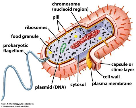 Bacterial cell image picture 10
