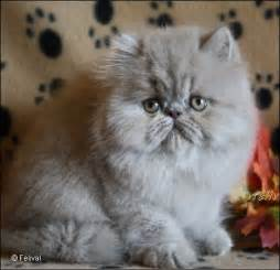 smoke persian cats picture 5