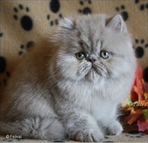 smoke persians breeders picture 2