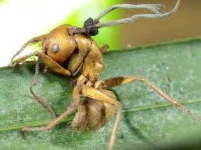 vampire fungus bug pic picture 9
