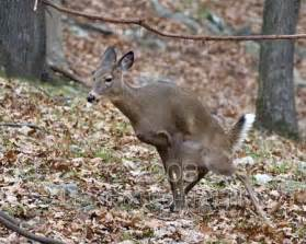 deer vagina picture 2