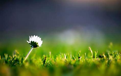 dandelion flower pictures picture 10