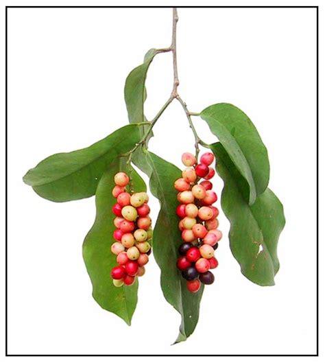 bignay tea benefit picture 1