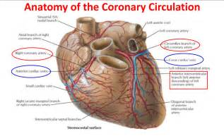 blood flow through the heart picture 2
