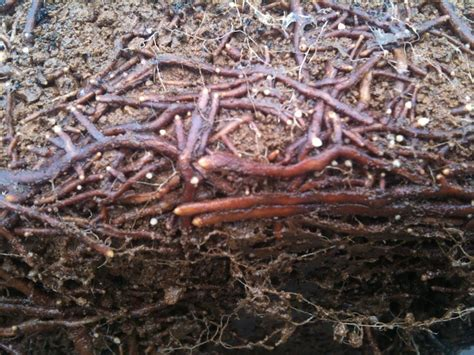 ginkgo atumn gold root system picture 2